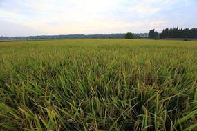 一望无际的稻田