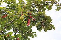 玉兰树的果实