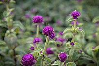 紫红色苗圃小花高清图片