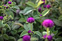紫红色苗圃植物高清图片