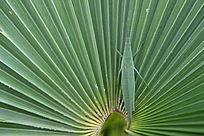棕桐树上的蚂蚱