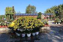 九百九十六朵黄色大丽菊花坛