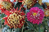 两朵美丽盛开的菊花