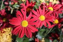 三朵红色菊花