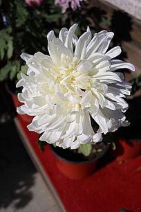 一朵带露珠的白色菊花