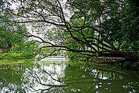 河边倾斜的老树