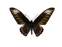 红颈鸟翼凤蝶