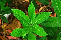 绿色叶子植物图片
