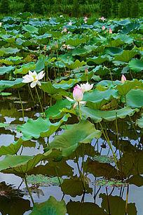美丽的荷花池景色