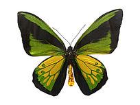 歌利亚鸟翼凤蝶