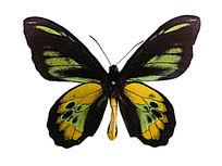 黄绿鸟翼凤蝶
