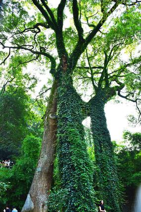 长满爬山虎的香樟大树