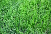 绿色小草背景素材