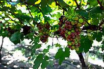 葡萄园葡萄架多串大葡萄高清大图