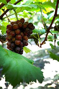 葡萄园葡萄架多串夏黑大葡萄高清大图