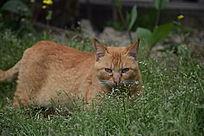 一只黄色的猫