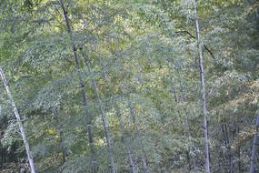 竹林里的竹子竹叶高清素材