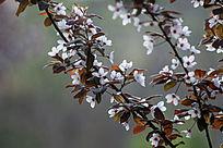 春天的紫叶李