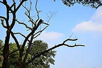 蓝天白云下的黑色树枝细节图
