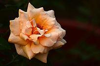 玫瑰花鲜花特写图片