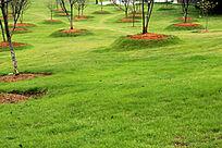 青草地樱花树
