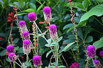 紫色颗粒状鲜花绿叶植物
