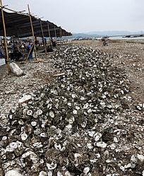 赤岸村蚝场满地蚝壳铺成了路