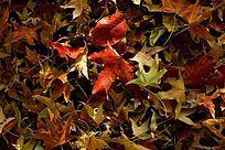 枫树落叶背景图