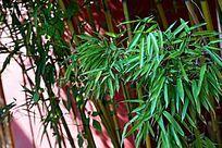红墙前翠绿的竹子