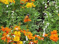 黄色小野花拍摄图片