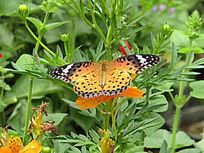 蝴蝶黄色小野花