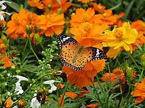 蝴蝶小黄花