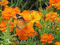 蝴蝶小黄花拍摄