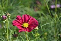 高清植物花卉格桑花图片素材