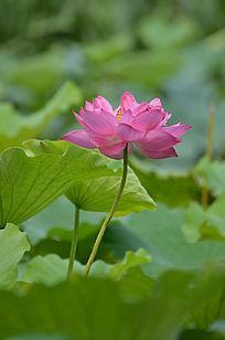 红莲湖风景图片