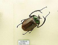 昆虫甲虫阳彩臂金龟子的标本