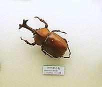 昆虫双叉犀金龟子甲虫标本