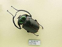 昆虫阳彩臂金龟甲虫标本