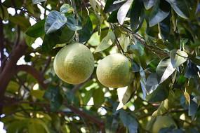 长在树上的两个绿皮柚子