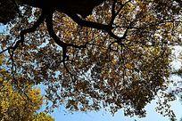 仰拍秋天的金黄色大树树冠