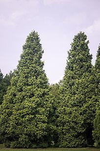 翠绿的松柏