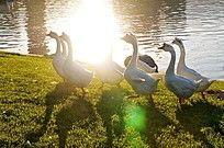 公园草丛上游戏的鹅