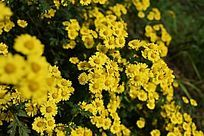 美丽的野菊花