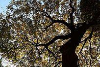 秋天的大树