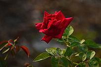 唯美的光影玫瑰花朵