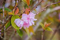 粉嫩的樱花