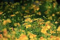 黄色小菊花背景