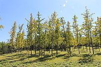 一片银杏树