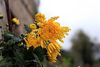 雨后的菊花