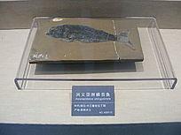 兴义亚洲鳞齿鱼标本